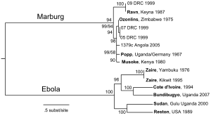 300px-Filovirus_phylogenetic_tree.svg